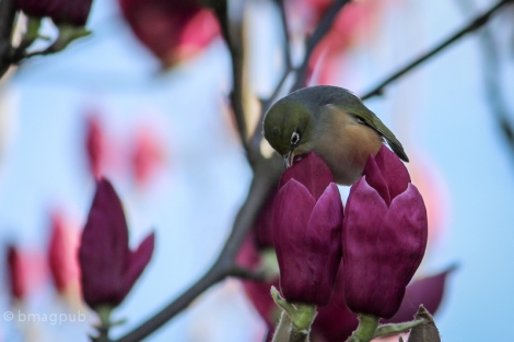 Tauhou / Waxeye on Magnolia